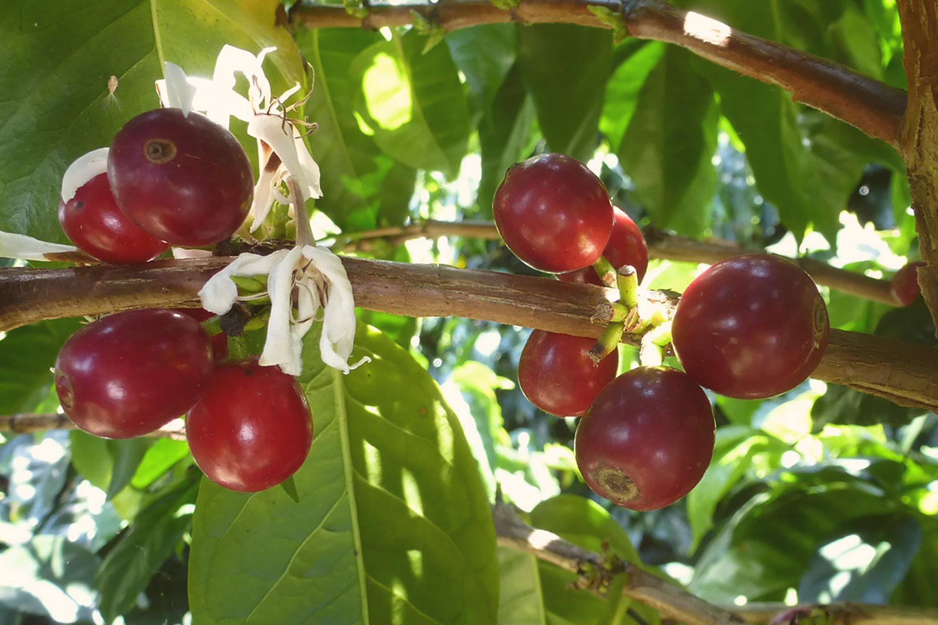 Plantation_Cafeier_Cafeotheque_26 FInal 2